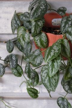 Close-up of Scindapsus Pictus plant.