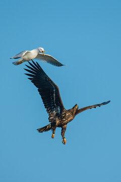White-tailed eagle (Haliaeetus albicilla), real wildlife