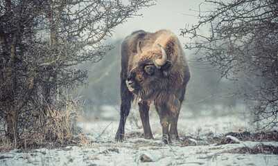 European bison resting on a snow meadow.