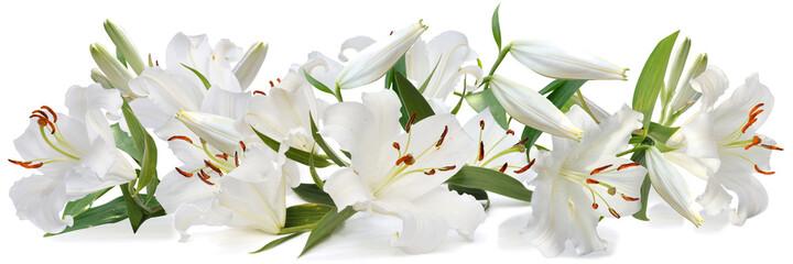 Fototapeta white lily   long