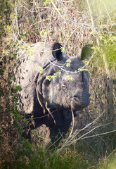 Printed kitchen splashbacks Rhino Indische Neushoorn, Indian Rhinoceros, Rhinoceros unicornis