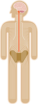 Diagram: human body nervous system.