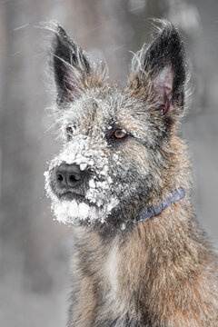 The dog froze in a blizzard. There is snow and icicles on her face.