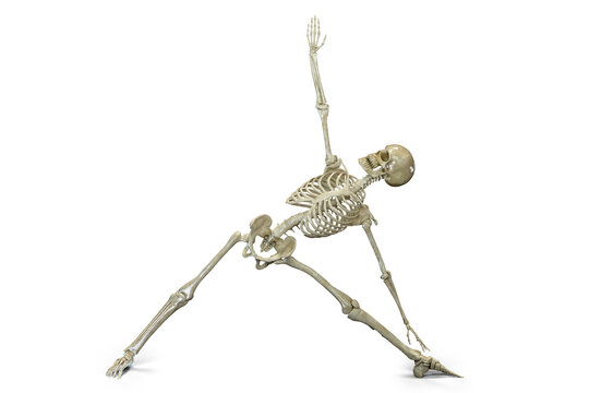 Anatomy of yoga, skeleton in Triangle yoga position, or Trikonasana