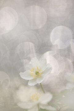 Anemone nemorosa,wood anemone