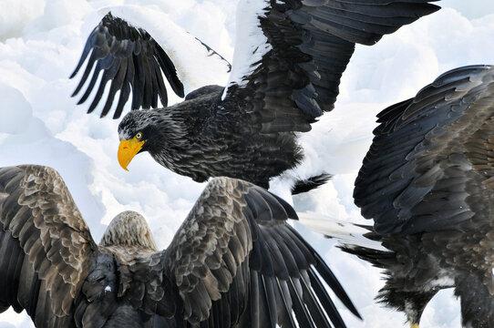 Stellers Sea-eagle and White-tailed Eagle, Steller-zeearend en Zeearend, Haliaeetus pelagicus, Haliaeetus albicilla,