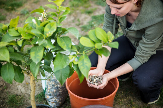 woman is repotting or planting a lemon tree in a brown plastic pot
