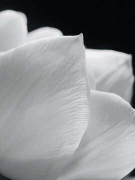 Close-up Of White Rose Flower Against Black Background