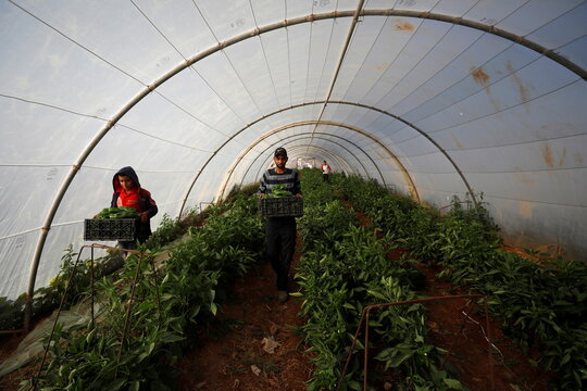 Palestinian farmers collect crops amid the coronavirus disease (COVID-19) pandemic, in a field in Jericho