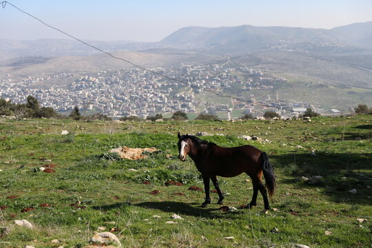 A horse stands in a field near the vineyards of Tura Winery in Har Bracha, an Israeli settlement in the occupied-West Bank