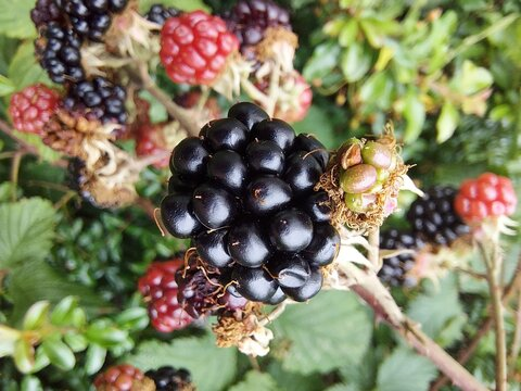 Delicious wild blackberries in autumn