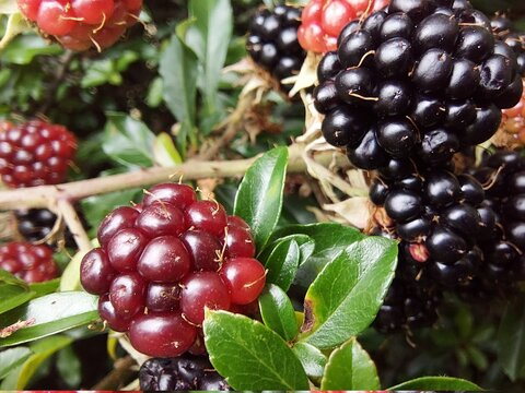 Close-up on wild blackberries in garden