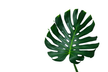 Monstera large green jungle leaf isolated on a white background.