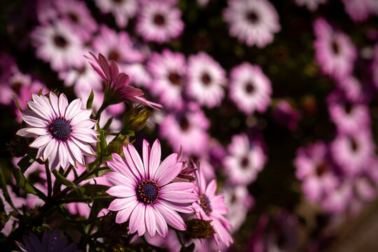 pink cape daisy with purple center
