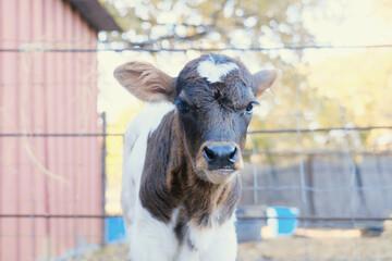 Wall Mural - Cute brown calf face on beef farm close up.