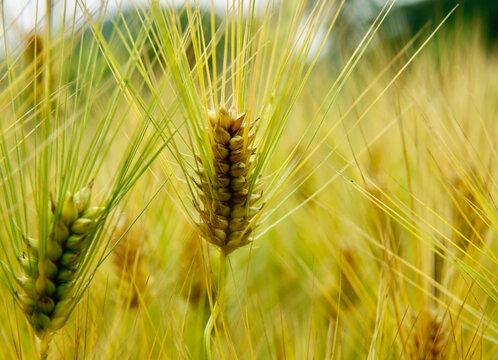 ripening yellow Barley