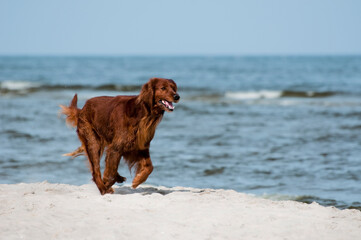 Seter pies na plaży