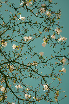 White magnolia stellata blossom on  branches of tree in green blue sky, resembling a painting by Van Gogh