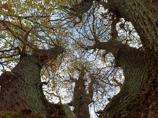 Fototapeta Taniec w koronach drzew. obraz