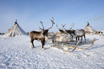 Ethnography. House and deer of the northern inhabitants of the Arctic