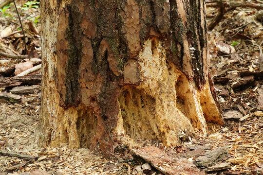 Close-Up durch Borkenkäfer geschädigter Baumstamm