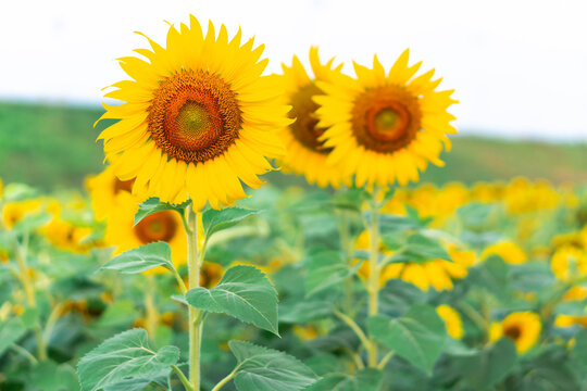 Sunflower field in garden blue sky, beautiful sunflower nature flowers on daytime, organic agriculture in countryside plantation
