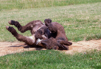 donkey rolling on the ground