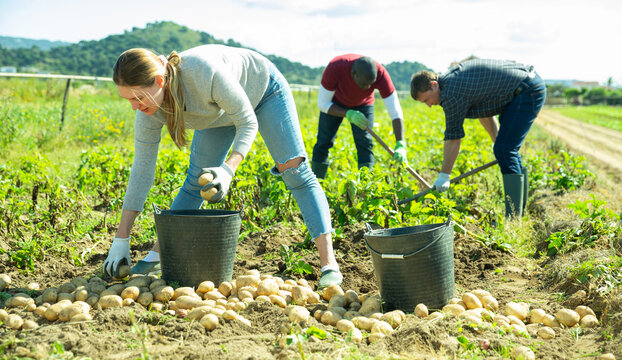 Group of people gathering crop of early potatoes on farm field. Harvest time..