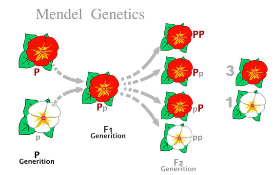 Mendel genetics. First and second generation rates from dominant and recessive parent flowers of different colors, red, white.   Mendelian law, Segregation genes, Dominance, uniformity. Draw vector