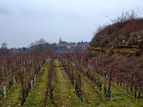 Vignoble au  cœur  de la Bourgogne.