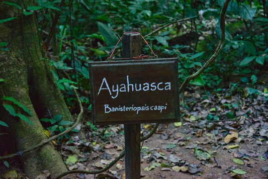 Ayahuasca, natural medicine used by the Ese Eja people, Peruvian Amazon