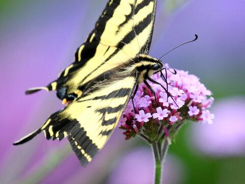 Western Tiger Swallowtail on Tall Verbena Closeup