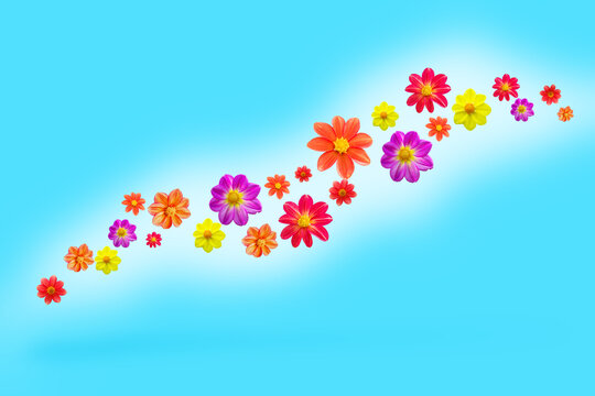 flying flowers on blue color background, levitation and falling various dahlia single flower heads