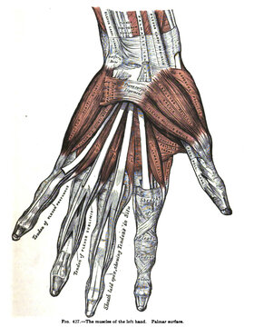 Vertical anatomy drawing and text of the muscles of the left hand, from the 19th-century