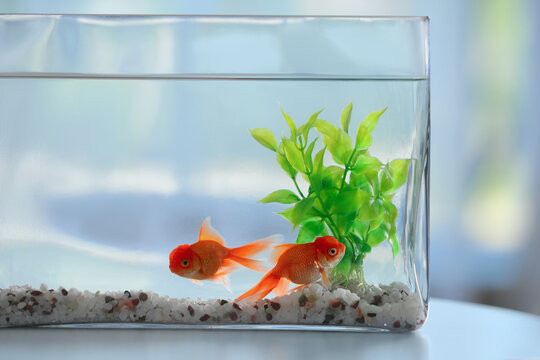 Beautiful bright goldfish in aquarium on table