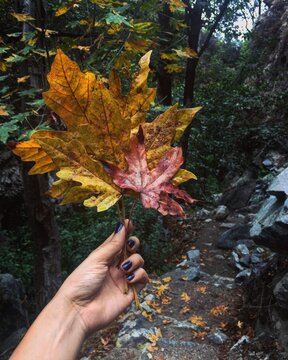 Cropped Hand Of Woman Holding Maple Leaves In Forest