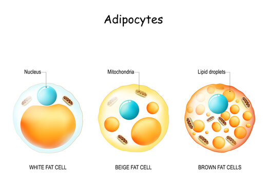 white fat cell, brown adipocyte, beige lipocyte