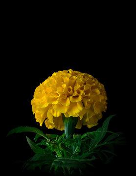 marygold flower isolated on black background
