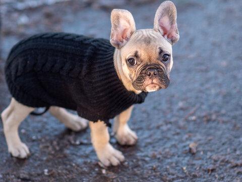 Cute Little French Bulldog Outdoor