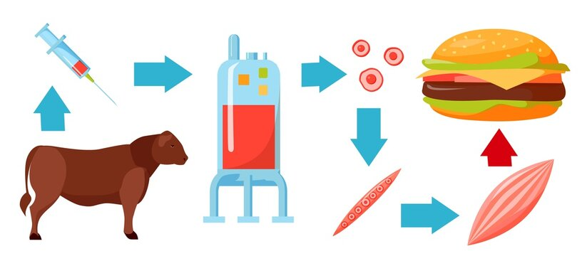 Cultured lab-grown meat infographics. Synthetic in vitro food concept. Biotechnological process with muscle stem cells, bioreactor, beef and tissue in laboratory. Color vector illustration