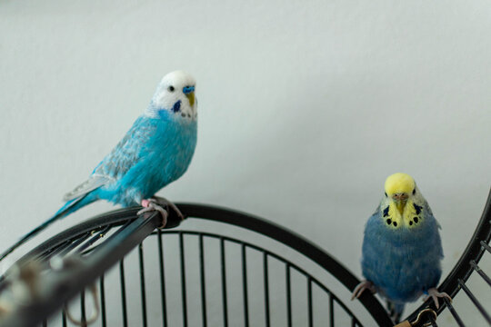 Budgie pair in blue on cage