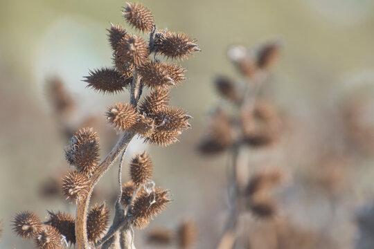 Dry thorny fruits of Xanthium strumarium in natural conditions. Medicine and medicinal plants.