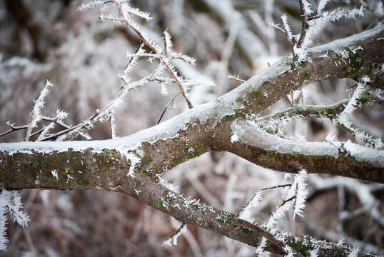 frosted tree branch