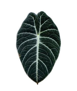Alocasia reginula black velvet plant, jewel alocasia leaf isolated on white background