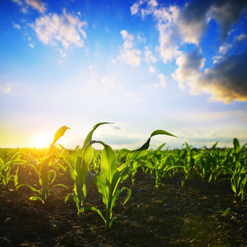Young green corn plants growing on the field at sunset. Agricultural landscape.