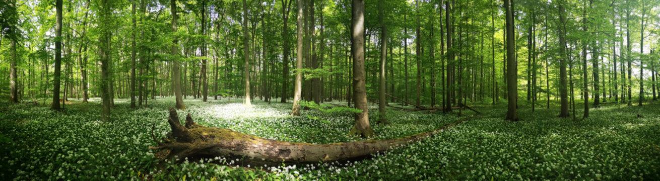 Bärlauchblüte im Nationalpark Hainich