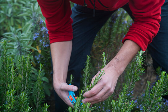 Caucasian man picking up rosemary in the garden. Young gardener trimming and cultivating aromatic herbs for medical or for culinary purposes, part of a healthy, self sufficient and organic farming.