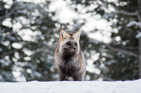 Cascade Red Fox, Mount Ranier National Park