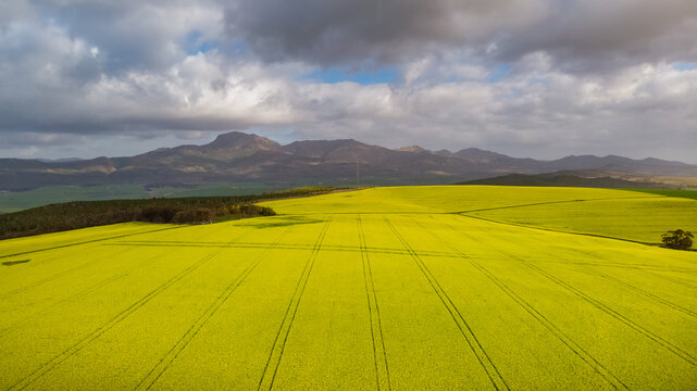 Aerial view of canola fields Overberg farming Western Cape, South Africa.
