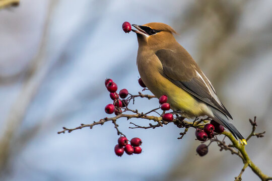 Cedar Waxwing Bird Plays With His Food on a Sunny Mid-Winter Day